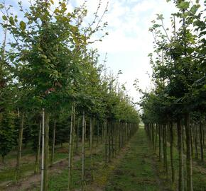 Buk lesní - Fagus sylvatica