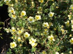 Mochna křovitá 'Primrose Beauty' - Potentilla fruticosa 'Primrose Beauty'