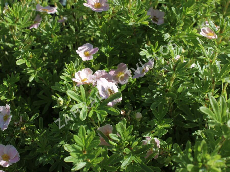 Mochna křovitá 'Lovely Pink' - Potentilla fruticosa 'Lovely Pink'