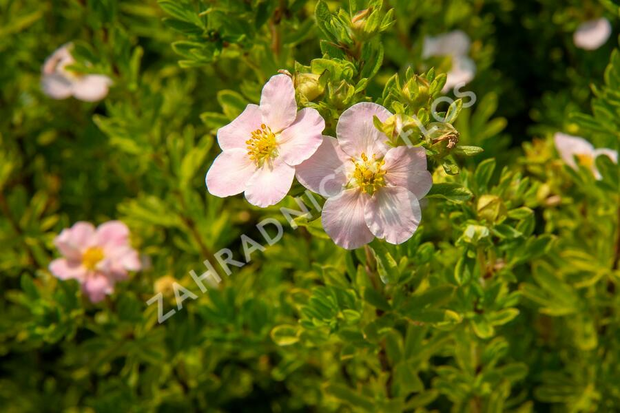 Mochna křovitá 'Lovely Pink' - Potentilla fruticosa 'Lovely Pink'