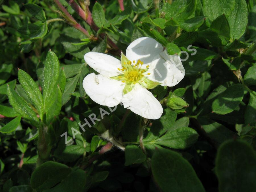 Mochna křovitá 'Abbotswood' - Potentilla fruticosa 'Abbotswood'