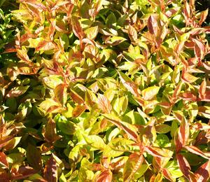 Vajgélie květnatá 'Wings of Fire' - Weigela florida 'Wings of Fire'