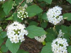 Tavola kalinolistá - Physocarpus opulifolius