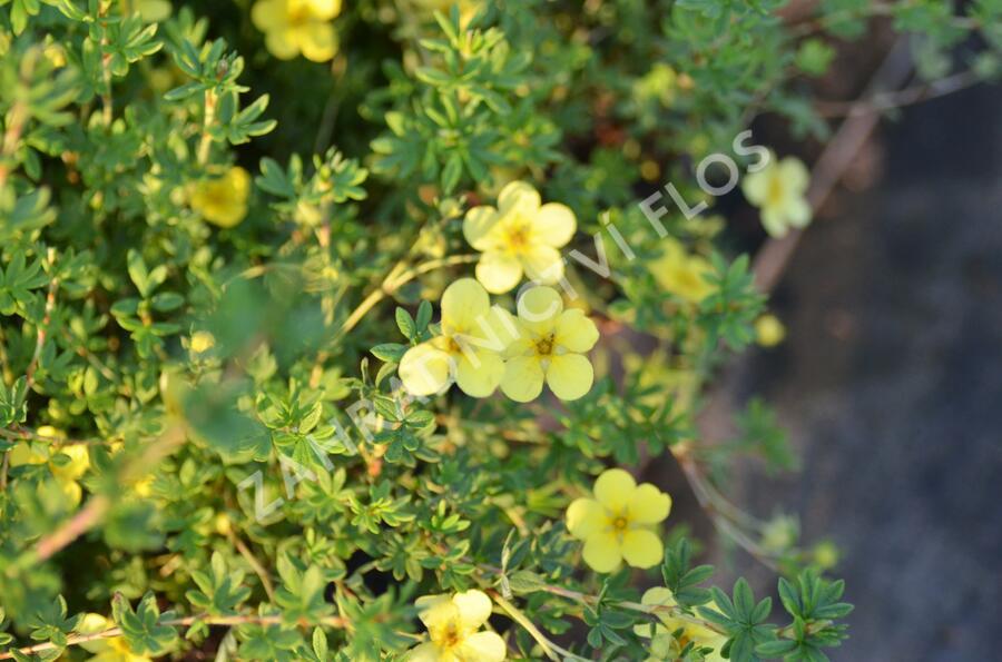 Mochna křovitá 'Katherine Dykes' - Potentilla fruticosa 'Katherine Dykes'