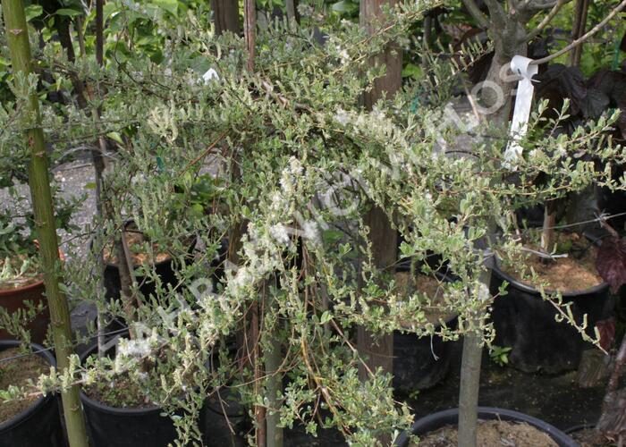 Vrba plazivá 'Voorthuizen' - Salix repens 'Voorthuizen'