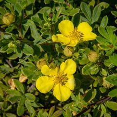 Mochna křovitá 'Longacre' - Potentilla fruticosa 'Longacre'
