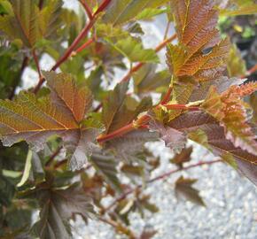 Tavola kalinolistá 'Red Baron' - Physocarpus opulifolius 'Red Baron'