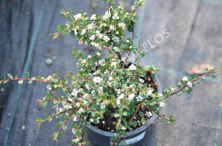 Skalník drobnolistý - Cotoneaster microphyllus