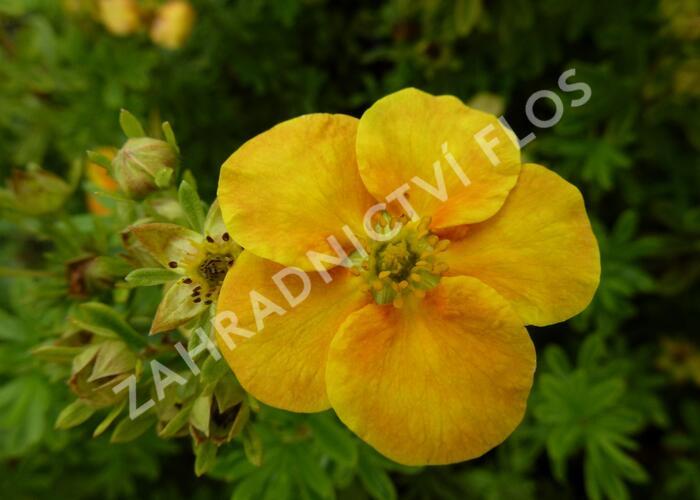 Mochna křovitá 'Orange Star' - Potentilla fruticosa 'Orange Star'