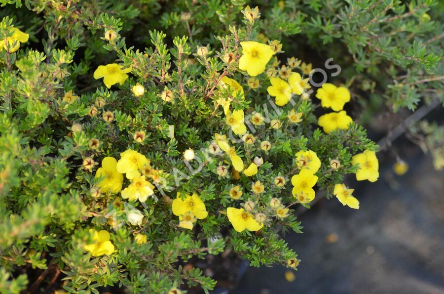 Mochna křovitá 'Kobold' - Potentilla fruticosa 'Kobold'