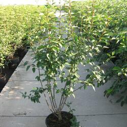 Šeřík čínský 'Saugeana' - Syringa chinensis 'Saugeana'