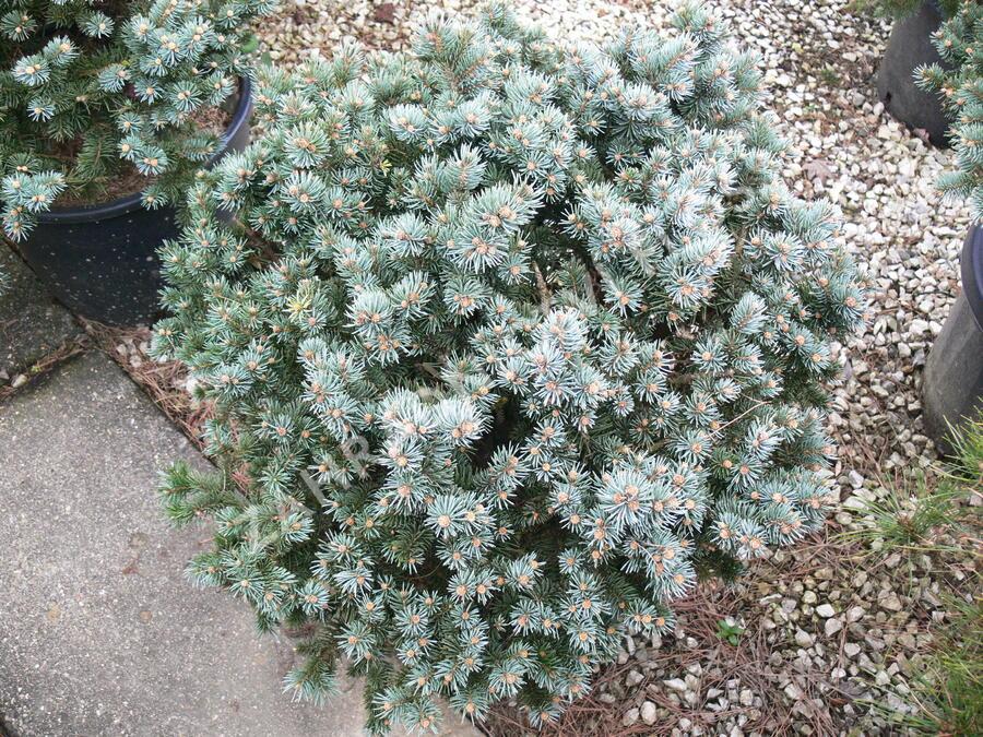 Smrk pichlavý 'Glauca Globosa' - Picea pungens 'Glauca Globosa'