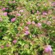 Tavolník japonský 'Crispa' - Spiraea japonica 'Crispa'