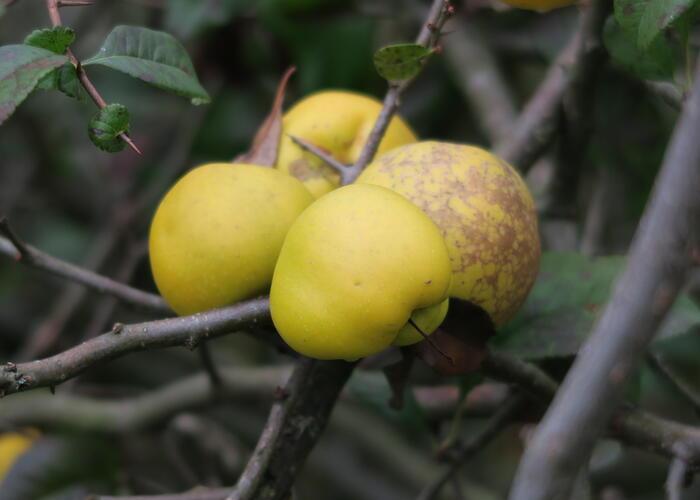 Kdoulovec lahvicovitý 'Nivalis' - Chaenomeles speciosa 'Nivalis'