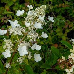 Hortenzie latnatá 'Tardiva' - Hydrangea paniculata 'Tardiva'