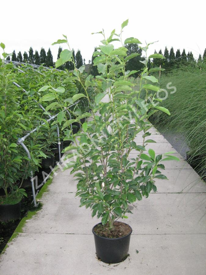 Šácholan Soulangeanův 'Lennei Alba' - Magnolia soulangeana 'Lennei Alba'