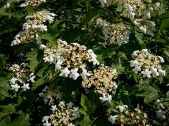 Kalina obecná - Viburnum opulus