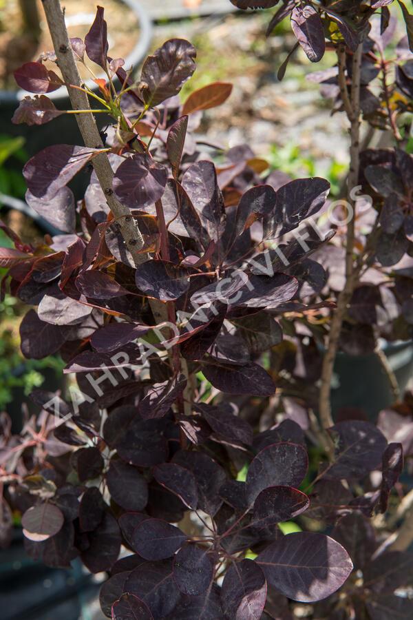 Ruj vlasatá 'Royal Purple' - Cotinus coggygria 'Royal Purple'