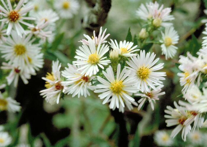Hvězdnice vřesovcová 'Alba' - Aster ericoides 'Alba'