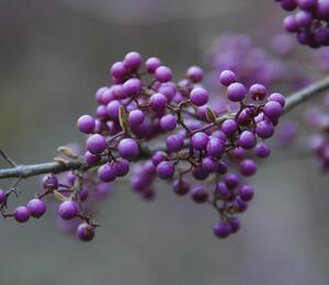 Krásnoplodka bodinierova - Callicarpa bodinieri giraldii