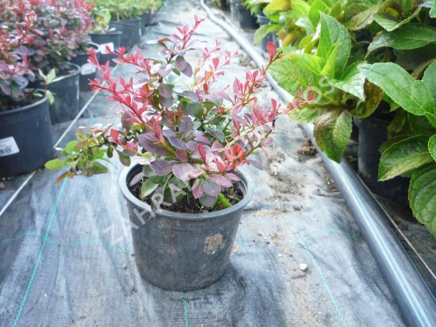 Dřišťál Thunbergův 'Atropurpurea Nana' - Berberis thunbergii 'Atropurpurea Nana'