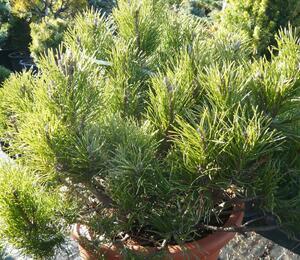 Borovice kleč - Pinus mugo mughus