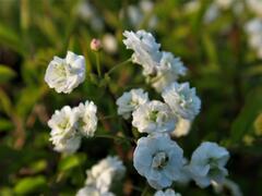 Tavolník slivoňolistý - Spiraea prunifolia
