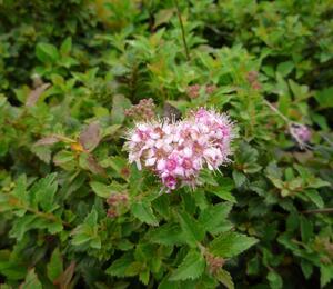 Tavolník japonský 'Nana' - Spiraea japonica 'Nana'