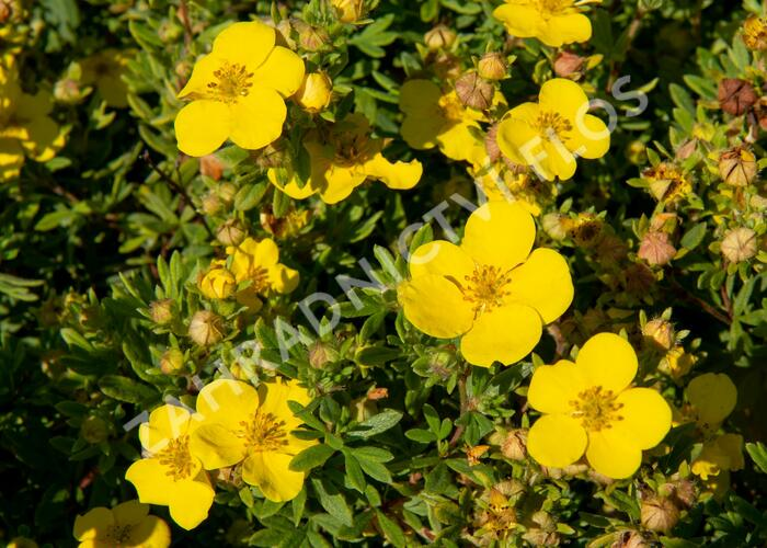 Mochna křovitá 'Sommerflor' - Potentilla fruticosa 'Sommerflor'