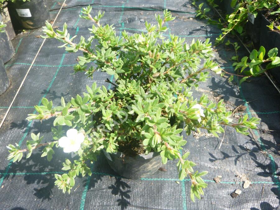 Mochna křovitá 'Manchu' - Potentilla fruticosa 'Manchu'