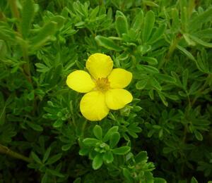 Mochna křovitá 'Klondike' - Potentilla fruticosa 'Klondike'