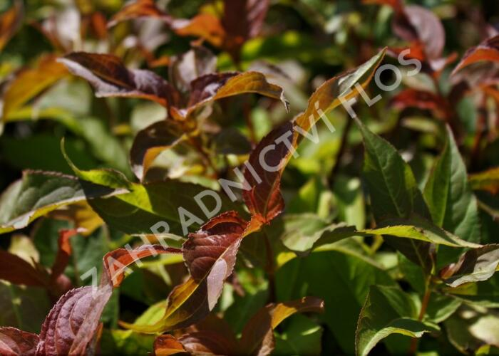 Zanice bezřapíčná - Diervilla sessilifolia