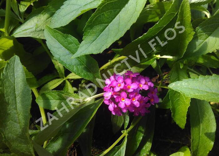 Motýlí keř, Komule Davidova 'Tutti Frutti' ( Free Petite®) - Buddleia davidii 'Tutti Frutti' ( Free Petite®)