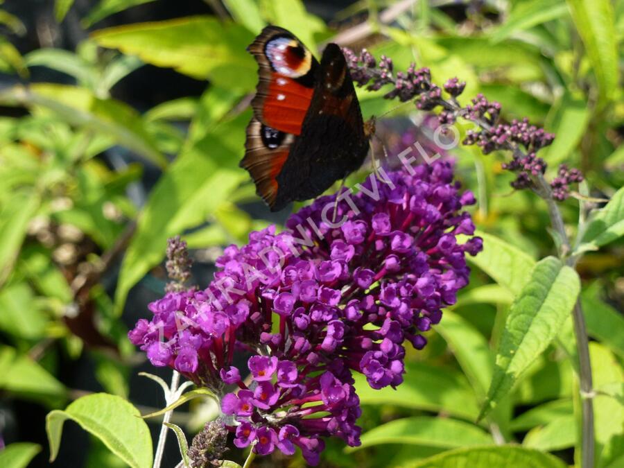 Motýlí keř, Komule Davidova 'Black Knight' - Buddleia davidii 'Black Knight'