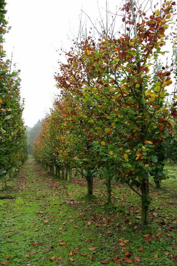 Buk lesní 'Zlatia' - Fagus sylvatica 'Zlatia'