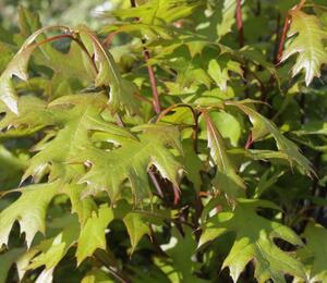 Dub bahenní 'Green Dwarf' - Quercus palustris 'Green Dwarf'