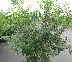Trnka obecná - Prunus spinosa