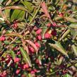 Brslen evropský 'Red Cascade' - Euonymus europaeus 'Red Cascade'