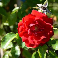 Růže pnoucí Kordes 'Amadeus' - Rosa PN 'Amadeus'