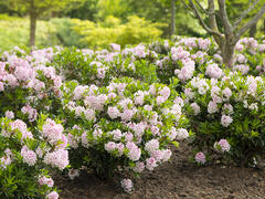 Pěnišník 'Bloombux'® - Rhododendron micranthum 'Bloombux'®