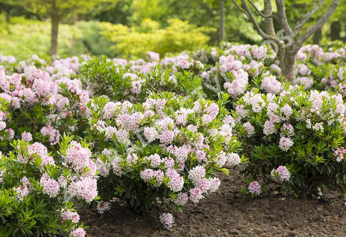 Pěnišník (kvetoucí buxus) - Rhododendron micranthum 'Bloombux' ®