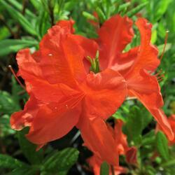 Pěnišník měkký 'Red' - Azalea mollis 'Red'