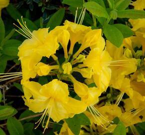 Azalka 'Yellow' - Azalea (KH) 'Yellow'