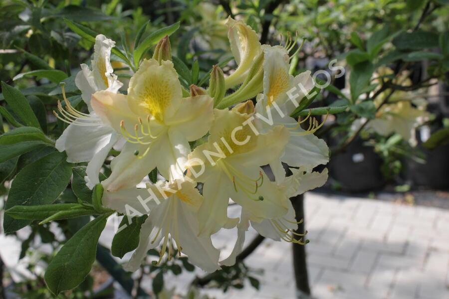 Azalka 'White' - Azalea (KH) 'White'