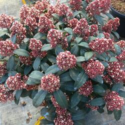 Skimie japonská 'Rubella' - Skimmia japonica 'Rubella'