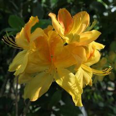Azalka 'Golden Sunset' - Azalea (KH) 'Golden Sunset'