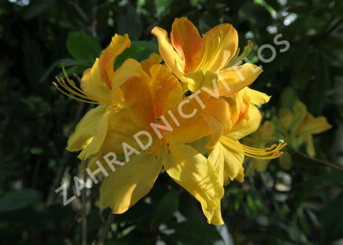Azalka 'Golden Sunset' - Azalea (KH) 'Golden Sunset'