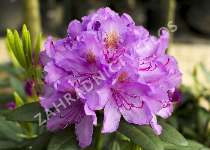 Pěnišník 'Catawbiense Grandiflorum' - Rhododendron (T) 'Catawbiense Grandiflorum'