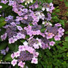 Hortenzie velkolistá 'Mariesii Perfecta' - Hydrangea macrophylla 'Mariesii Perfecta'