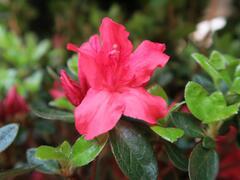 Azalka japonská 'Vuyk's Scarlet' - Azalea japonica 'Vuyk's Scarlet'